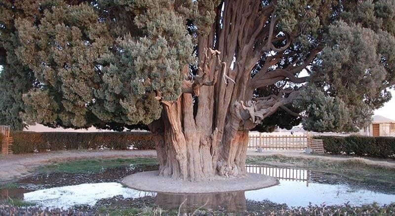 Abarkuh ancient cypress